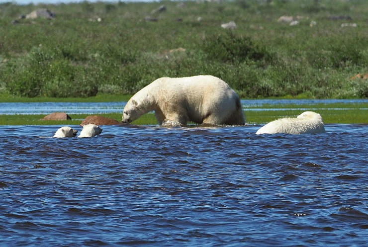 Polar bear hunting beluga whales at Seal River Heritage Lodge. Quent Plett photo.
