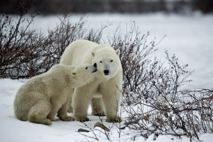 Love bites from polar bear cub at Seal River Heritage Lodge.