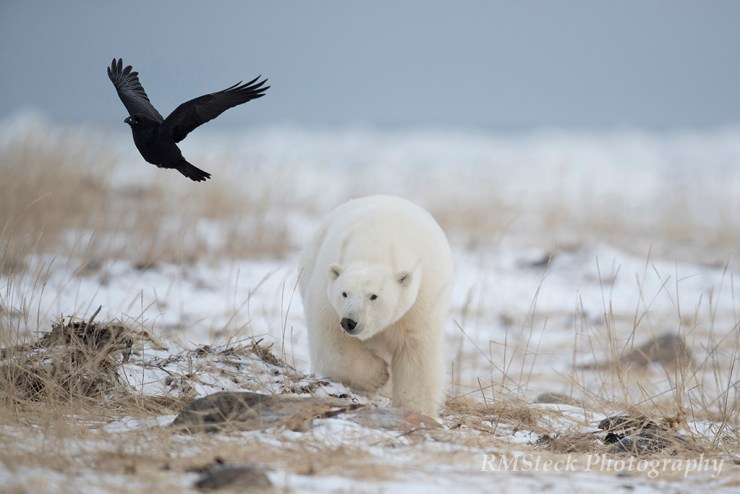 Polar bear stalks raven at Seal River Heritage Lodge. Ruth Elwell-Steck photo.