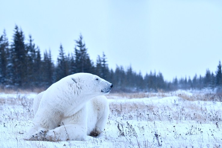 The Ghost in the Willow. Polar bear at Nanuk.