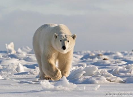 polarbearsnowsealriver