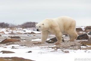 polarbearwalking3