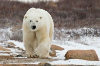 polarbearwalkingonrockssealriver