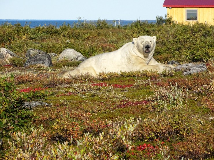 """Bob"" the polar bear at Seal River Heritage Lodge. Click image for story."