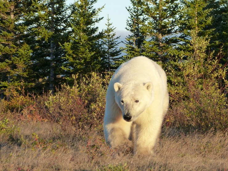 Polar bear emerges from the boreal forest at Nanuk.