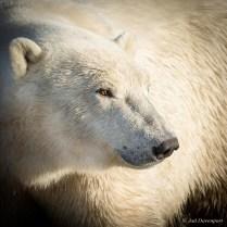 polarbearjaddavenport1024