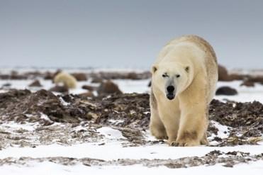 2nd Place Polar Bears - Tania Watene