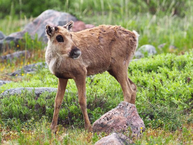 Baby caribou at Seal River!