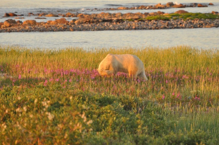 This bashful bear wandered up into the fireweed at Seal River Heritage Lodge on the final evening of the first Birds, Bears and Belugas safari of 2018.