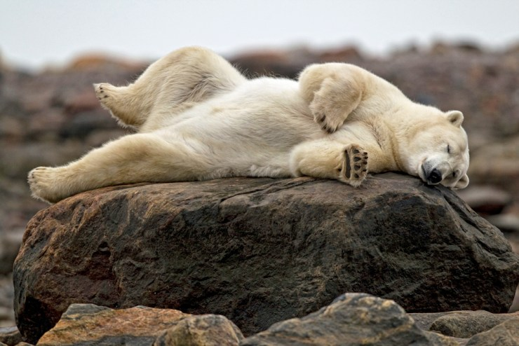 Polar bears know how to relax. Remember to get some rest. You're on vacation! Robert Postma photo.