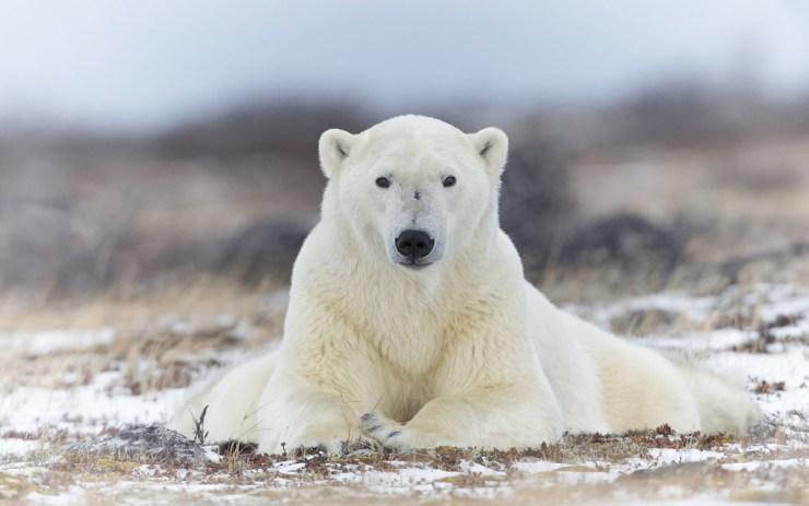 Polar bear perfect pose.