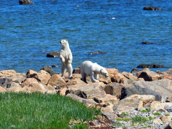 Polar bear on the lookout at Seal River Heritage Lodge.