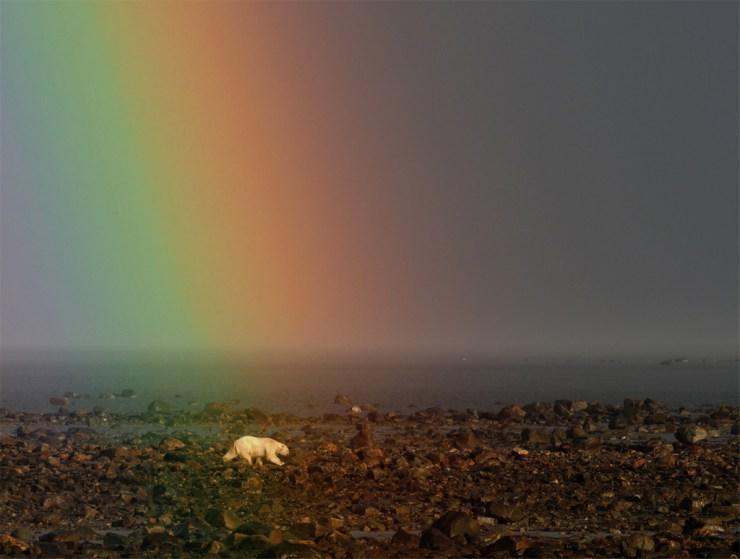 Polar bear under rainbow at Seal River Heritage Lodge. Quent Plett photo.