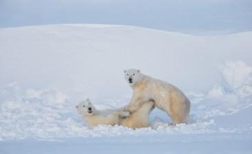 Polar bears playing at Seal River Heritage Lodge. Charles Glatzer photo.