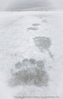 polarbeartracksnanukglatzer