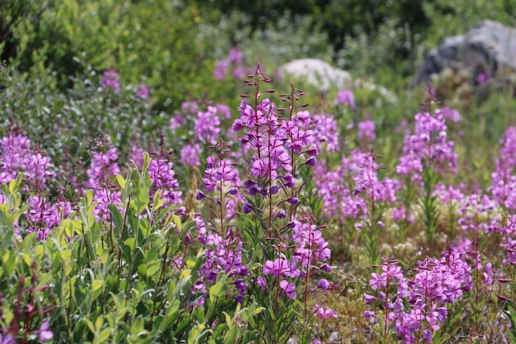 Fireweed adds intense colour to the tundra in July. Photo courtesy of guest Laura Montross.