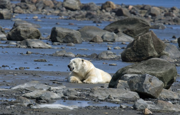 Grizzled male polar bear relaxing in mud at low tide near Seal River.