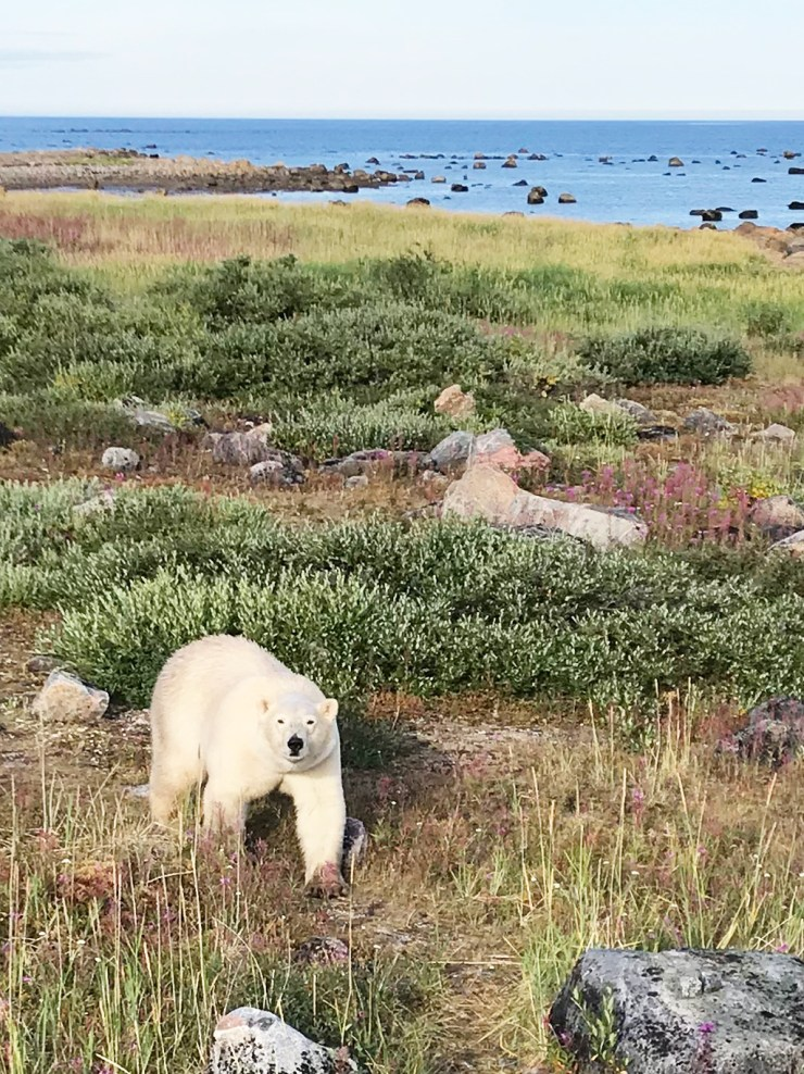 Bear. Tundra. Beach. Bay. Seal River Heritage Lodge. Photo courtesy of guest Ann Wiley.