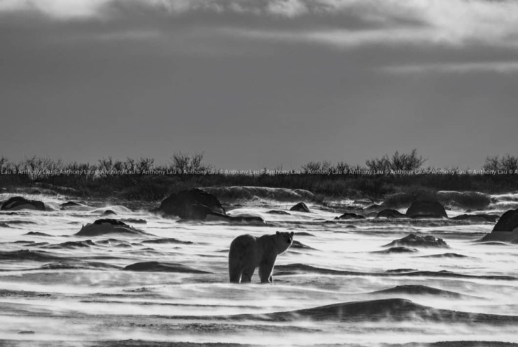 """""""And then it stopped, and turned its head toward me."""" ~ Anthony Lau at Seal River Heritage Lodge."""