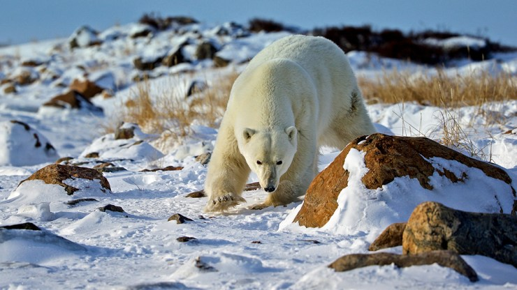 On the rocks. Polar bear approaches at Seal River Heritage Lodge. Andy Skillen photo.