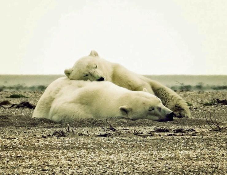 Mom and cub on the beach at Nanuk Polar Bear Lodge. Donna Racheal photo.