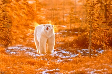 polar-bear-at-dymond-lake-ecolodge-Dennis-Fast-photo