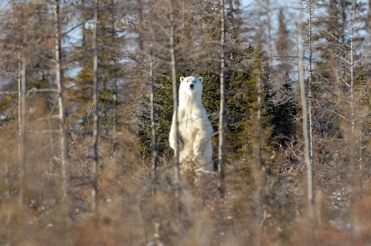 Polar bear in forest at Dymond Lake Ecolodge. CHR1515 TripAdvisor Guest Review Photo.