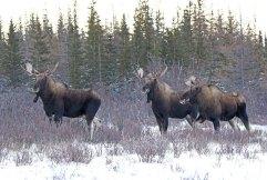 3-moose-in-snow-Nanuk-Polar-Bear-Lodge-Ian-Johnson