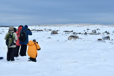 Ground-level wolf photography at Seal River Heritage Lodge. Ian Johnson photo.