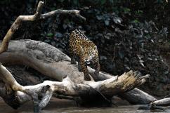 leopard-Ian-Johnson-Safaris-photo