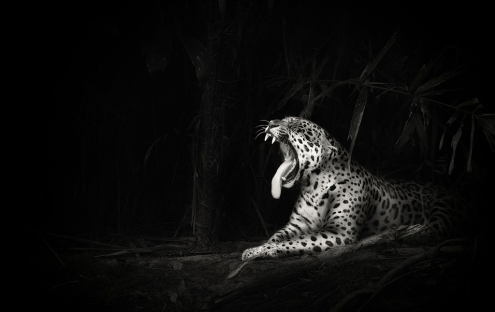 leopard-Ian-Johnson-photo