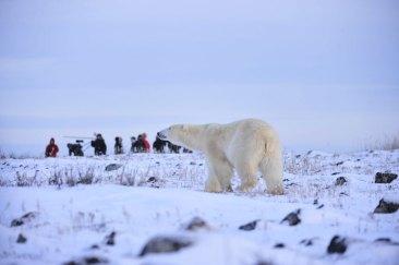 Polar bear on the ridge at Seal River Heritage Lodge. Ian Johnson photo.