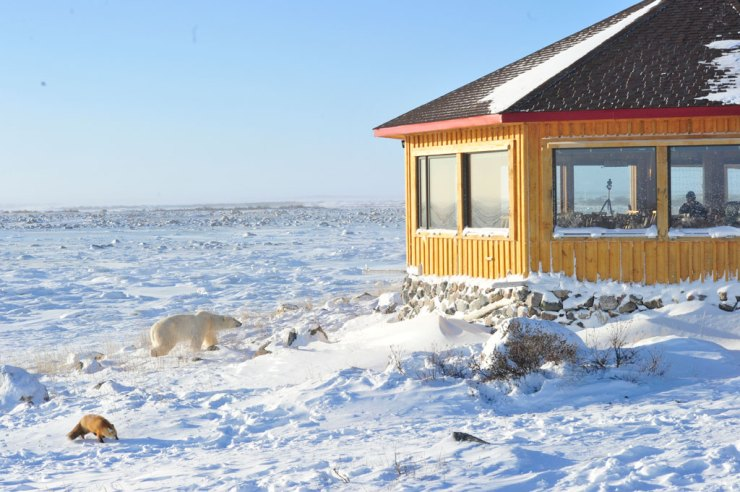 Polar bear and red fox at Seal River Heritage Lodge. Ian Johnson photo.