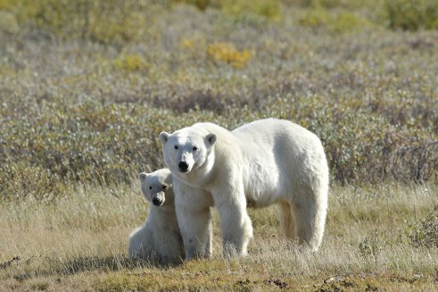 polar-bear-mom-and-cub-summer-Churchill-Wild-Nanuk-Ian-Johnson