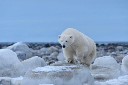 polar-bear-on-the-move-Seal-River-Heritage-Lodge-Ian-Johnson
