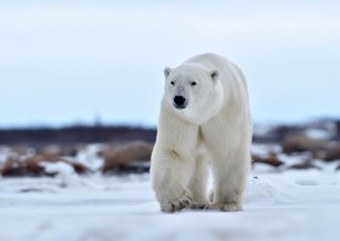 polar-bear-walking-Seal-River-Heritage-Lodge-Ian-Johnson