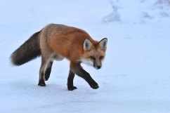 red-fox-Churchill-Wild-Nanuk-Ian-Johnson
