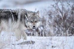 Wolf growling at Seal River Heritage Lodge. Ian Johnson photo.