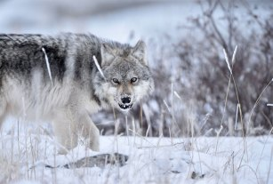 Wolf growling at Seal River Heritage Lodge. Ian Johnson photo.