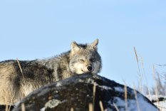 Wolf peering over rocks at Seal River Heritage Lodge. Ian Johnson photo.