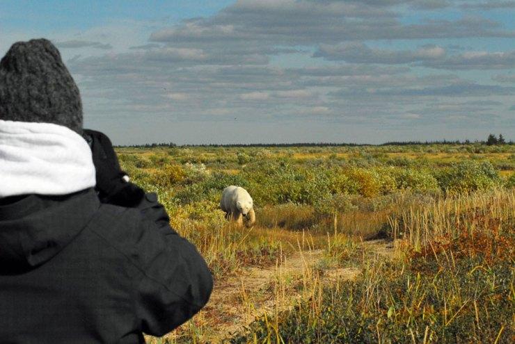 Polar bear approaches the tundra rhino at Nanuk. Doreen Booth photo.