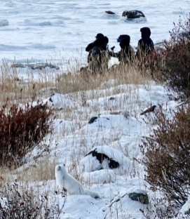 1st Place - Amateur - Sheree Clark - Polar Bear Photo Safari