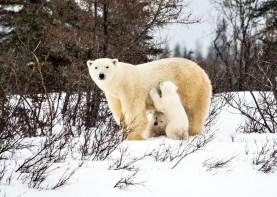 Hon. Mention - Polar Bears - Virginia Huang - Den Emergence Quest