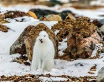 Hon. Mention - Wildlife - John Preston - Polar Bear Photo Safari