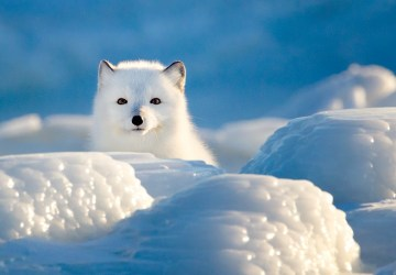 Arctic fox in blue and white. Seal River Heritage Lodge. Gordon Fox photo.