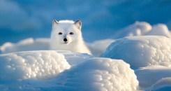 Arctic fox in blue and white. Seal River Heritage Lodge. Gordon Fox photo.