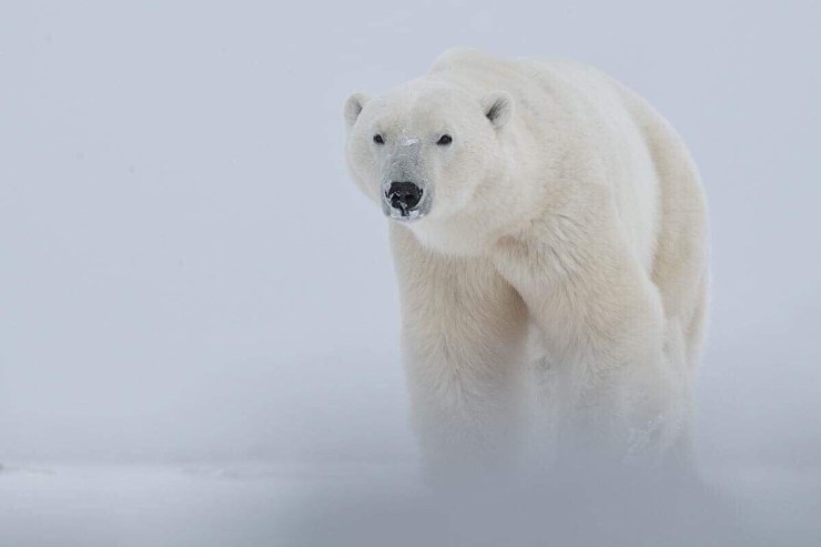 Polar bear emerges from the snow at Nanuk Polar Bear Lodge. Robert Postma photo.
