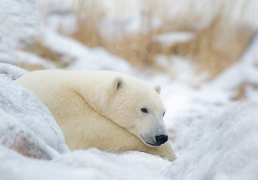 Peaceful polar bear relaxing in snow. Churchill Wild. Great Ice Bear Adventure. Dymond Lake Ecolodge.