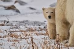 polar-bear-churchill-wild-seal-river-heritage-lodge-christina-jansa