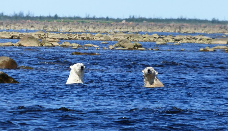 Polar bears atop hidden boulders in Hudson Bay. Steve Herring photo.